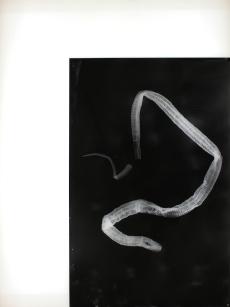 Vue de l'exposition « Pia Rondé & Fabien Saleil - La campagne est noire de soleil » Galerie Escougnou-Cetraro, Paris Pia Rondé & Fabien Saleil, Humeur vitrée, Exuvie, 2016 Photogramme sur verre céramique. 80 x 60 cm. Unique Courtesy des artistes et Galerie Escougnou-Cetraro